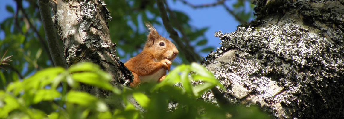 Red squirrel at Bracken Holiday Lodges Loch Tay Kenmore Killin Perthshire