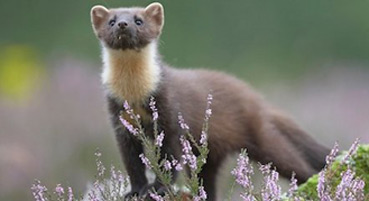 Pine Martens - a frequent visitor at Bracken Lodges